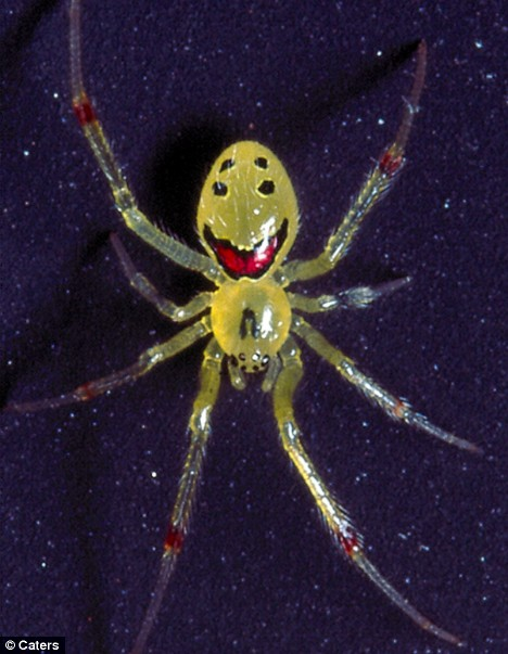 theridion0