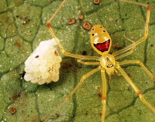 theridion2