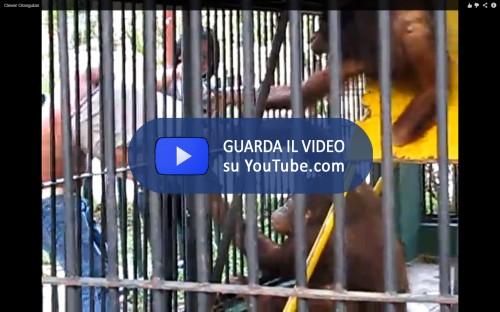 Caloy Orangutan