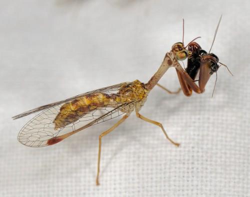 Mantispidae2