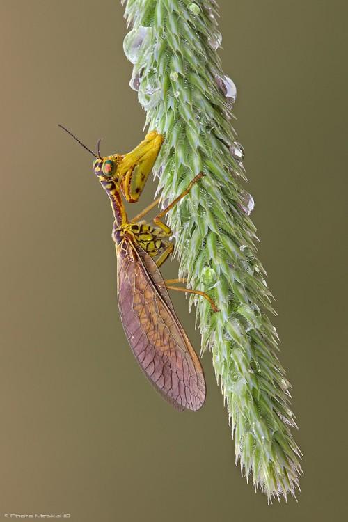 Mantispidae3