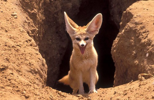 Scout the Fennec 2