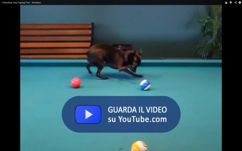 Amadeus Pool Dog