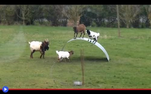 Altalena delle capre