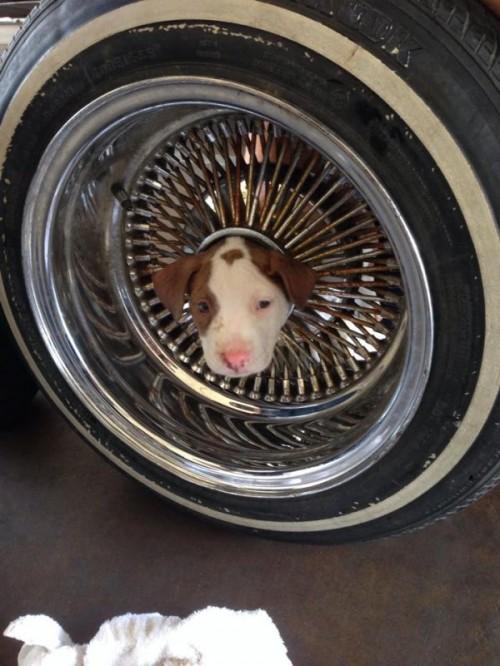 Dog in a Wheel