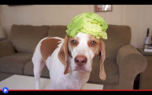 Maymo Cabbage