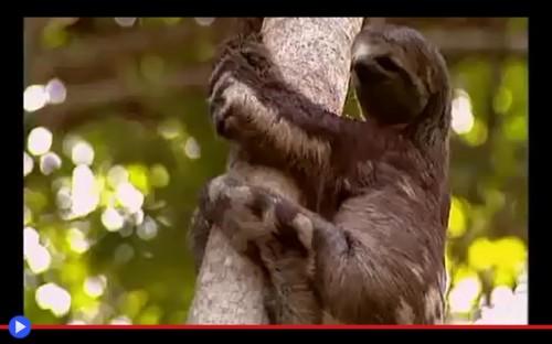 Sloth Puma