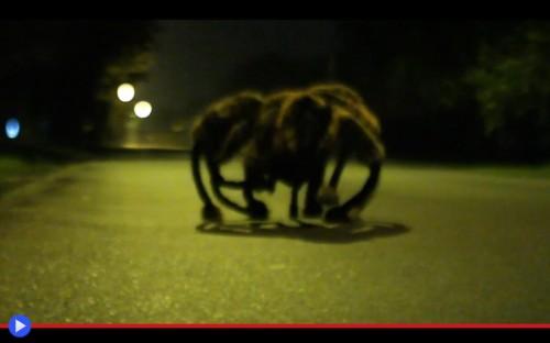 Cane ragno gigante