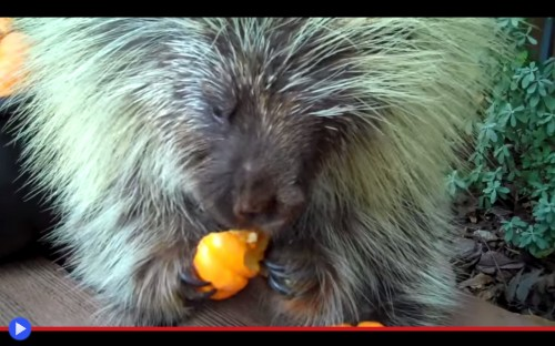 Porcupine Pumpkin