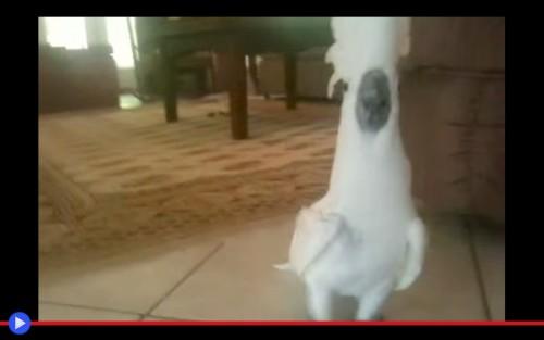 Angry Cockatoo