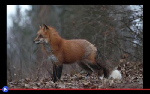 Fox Calls