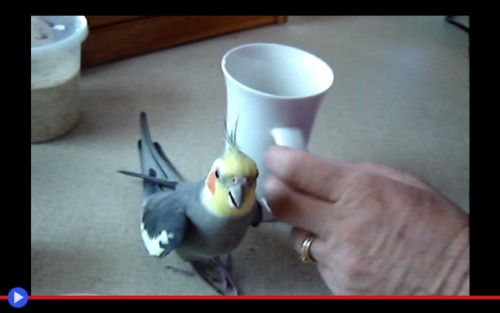 Happy Cockatiel