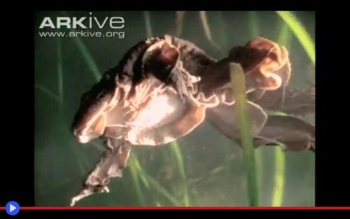 Scrotum frog 2