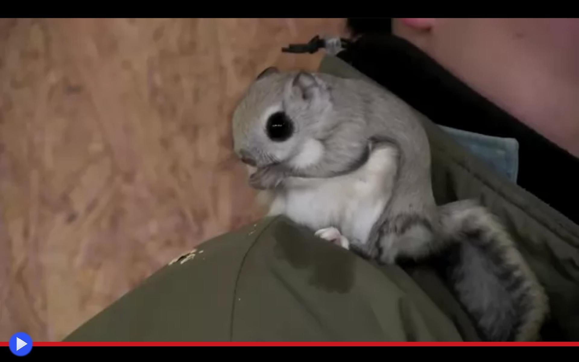 Non è un pipistrello è taro lo scoiattolo volante siberiano il