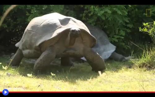 Jonathan l antica tartaruga dell isola di sant elena il for Accoppiamento tartarughe