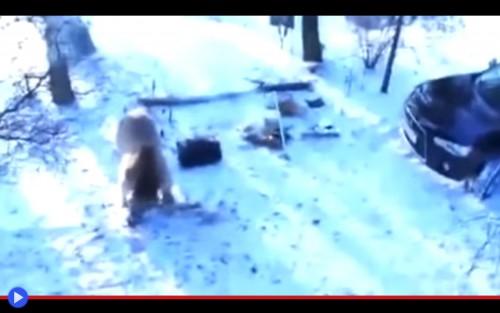 Bear steals car