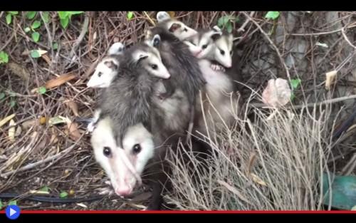 Opossum in the Closet
