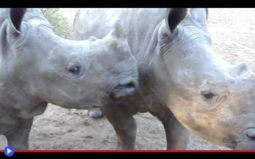 Rhinoceros call