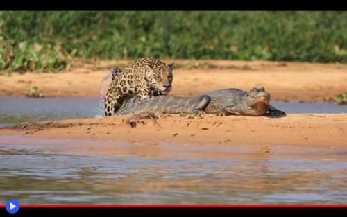 Caimano-Leopardo