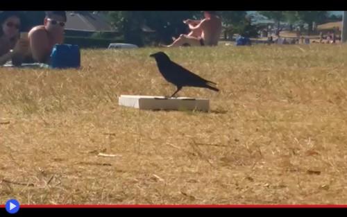 Pizza Crow