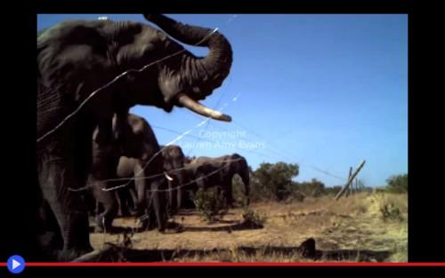 Elephants breaking fences