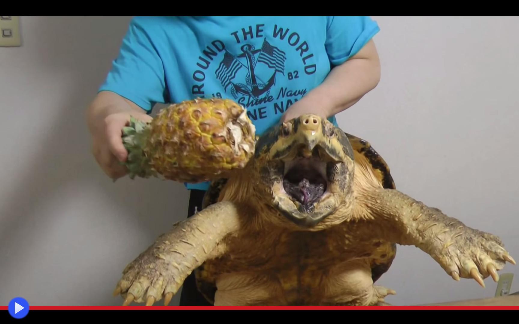 come serch estetica di lusso marchio popolare Come un ananas ghermito dalla tartaruga alligatore - Il blog ...
