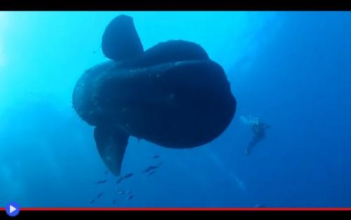 Mola Mola 2