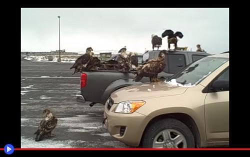 Eagle pickup