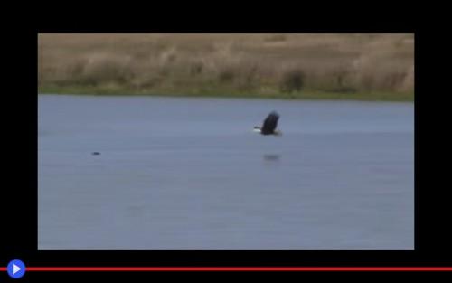 Eagle swim