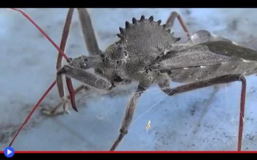 Wheel Bug Web