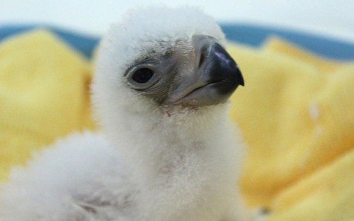 Philippines Eagle Chick