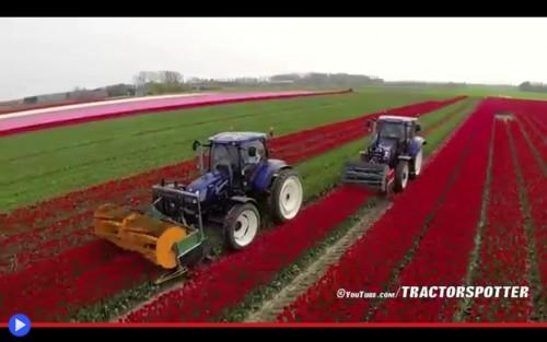 Tulip Harvesting