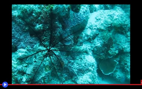 Feather Star 2