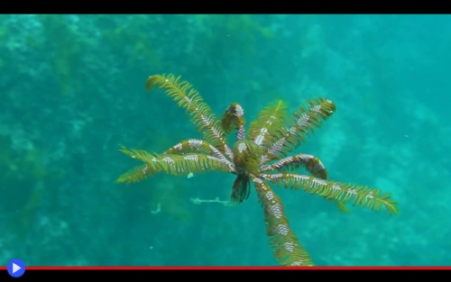 Feather Star 3