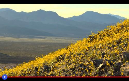 Death Valley Full Bloom