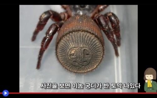 Cyclocosmia Spider