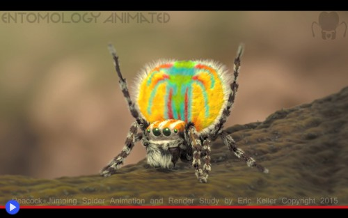 Enthomology Animated Peacock Spider