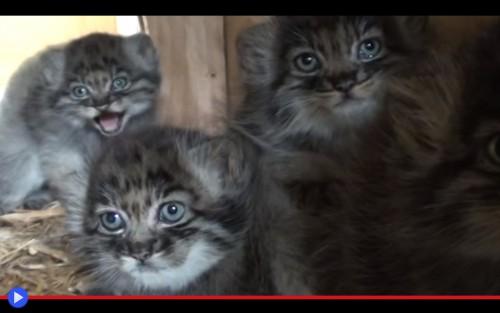 Manul kittens
