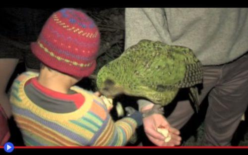 Kakapo 3
