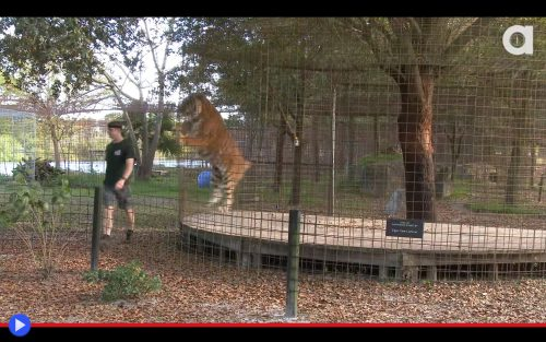 Big Cats Playful