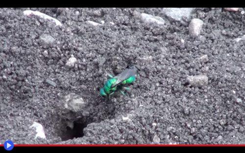 Cuckoo Wasp 2