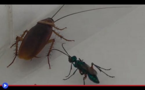 Emerald Cockroach Wasp 2