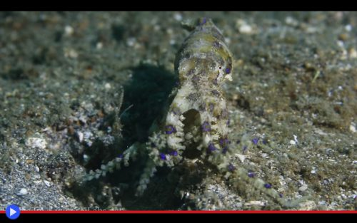 Blue Ringed Octopus 3