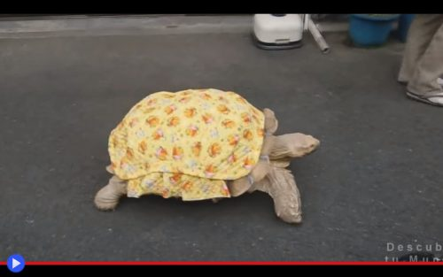 Bo-chan the Tortoise 2