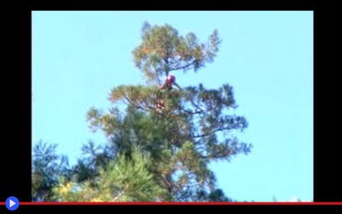 Hyperion Redwood