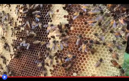 Apis Dorsata Honey 2