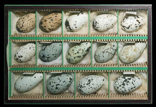 Uria aalge Eggs