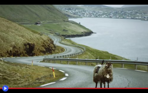Faroe Sheep