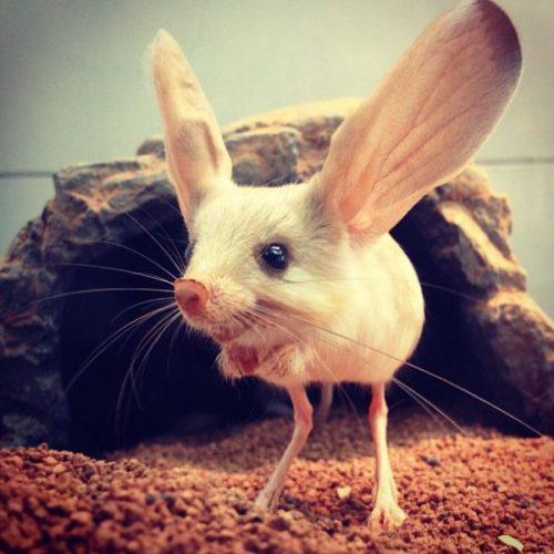long-eared-jerboa