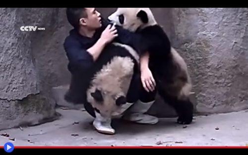 Panda Pups 2